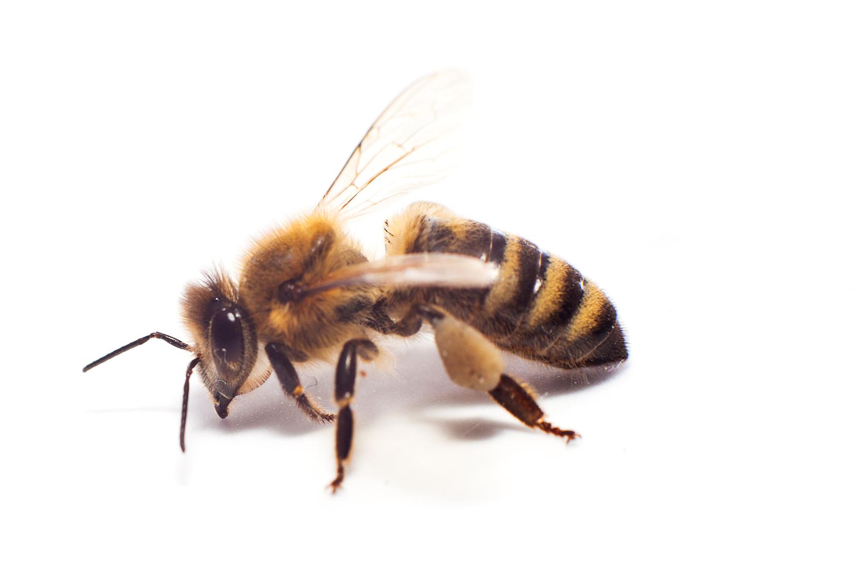 venin d'abeille - Bee Opshère